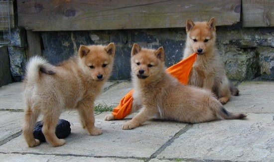 Finnish-Spitz-Puppies-550x326