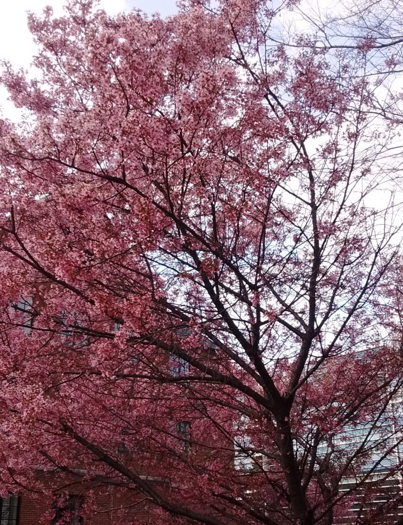 Pink blossoms in Raleigh, March 2016