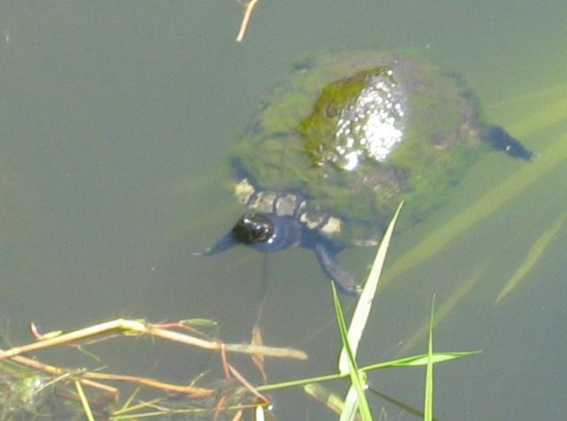 Surfwatch Turtle