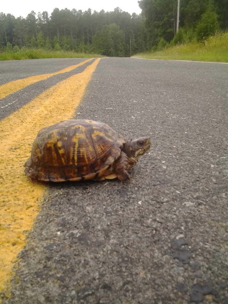 Turtle-crossing-road
