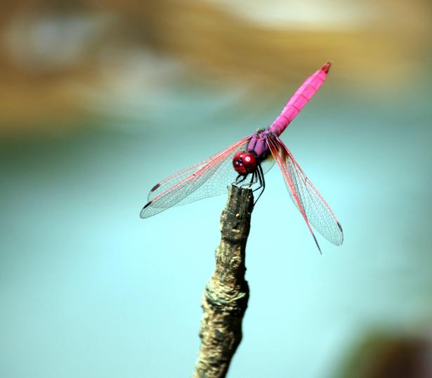pink-dragonfly-dancing-on-the-stick